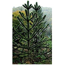 Araucaria araucana - Chilenische Araukarie - Andentanne - 3 Samen