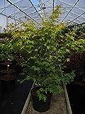 Acer palmatum Orange Dream - Fächerahorn