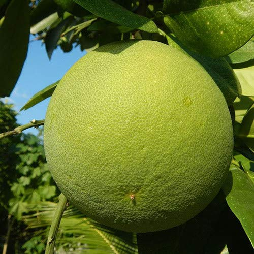 Plant World Seeds - Citrus Maxima Seeds