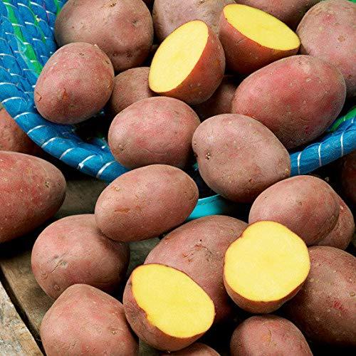 Qulista Samenhaus - Rarität 20pcs BIO Kartoffel Laura rotschalig Gemüsesamen winterhart mehrjärhig