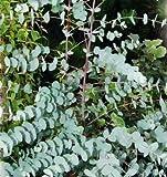 Blau Gum, Tasmanian blau Gum Samen - Eucalyptus Globulus