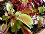 Venus fly trap seeds ***10+ Fresh Seeds***