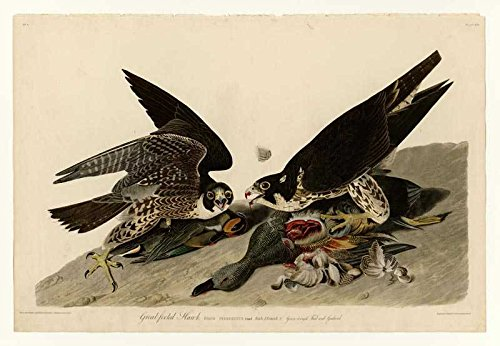 Das Museum Outlet-Audubon (- great-footed Hawk-Teller 16-Poster Print Online (A3Poster) Footed Teller