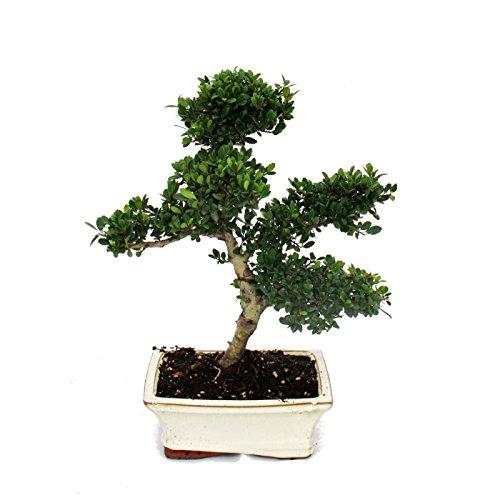Bonsai Ilex crenata - Japanische Stechpalme ca. 6 Jahre