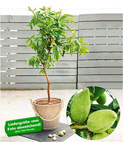 "BALDUR-Garten Süß-Mandel\""Nut Me® Almond\"", 1 Pflanze Mandelbaum"