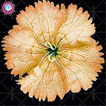 5: Neuheiten 100Pcs Dianthus Barbatus Bonsai Seeds.Perennial seltene Regenbogen-Indoor-Blumensamenpflanzen Topf. Blumen für Garten 5