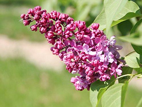 Flieder lila Blüte 'Charles Joly' – Syringa vulgaris Charles Joly Containerware – 60-100 cm – Garten von Ehren®