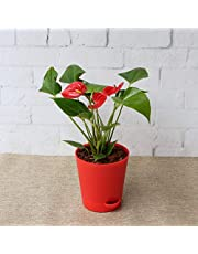 UGAOO Anthurium Red Live Plant with Pot