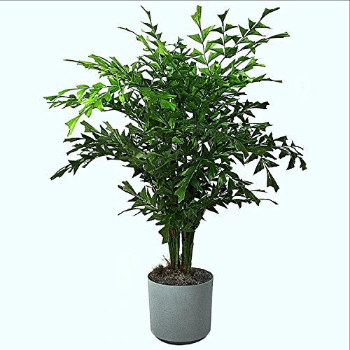 Seedstores : 10 Seeds of Caryota Urens, Fish Tail Palm, Toddy or Wine Palm Tree for Growing  available at amazon for Rs.148