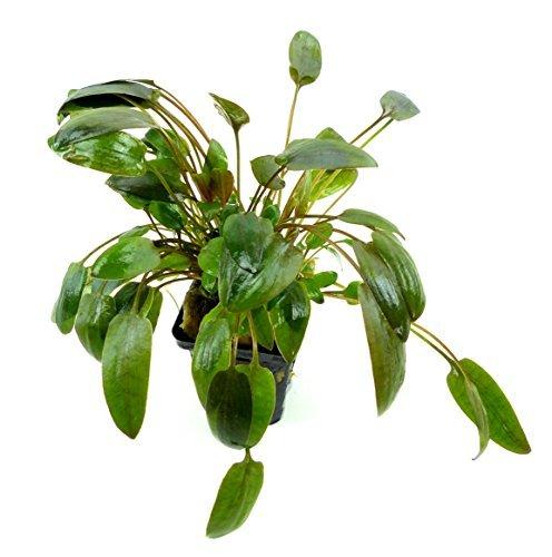 Wasser-Pflanze Aquarium süss-Wasser Pflanzen 2639 Cryptocoryne wendtii Brown - Süßwasser-aquarium Pflanzen