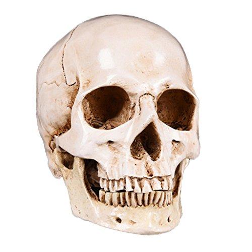 Sharplace Anatomisches Modell menschlichen Kopfes Schädel Modell für Unterrichrt
