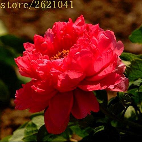 10 pcs / sac graines de pivoines Terrasse Cour Jardin Paeonia Suffruticosa Graines de fleurs vivaces plantes en pot pour le jardin de la maison 3