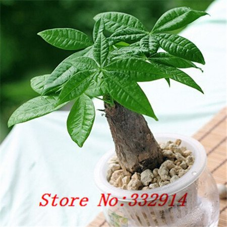 Galleria fotografica Vendita Vendita calda! 100pcs / bag rari Pachira cinese Seeds macrocarpa 20 varietà Bonsai Semi Garden Novel piante Anti-Radiation