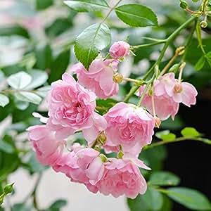 Rose The Fairy® - Bodendeckerrose zartrosa Blüten - Kleinstrauchrose Pflanze Duftend Winterhart Halbschattig von Garten Schlüter - Pflanzen in Top Qualität