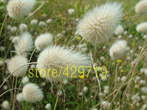 100 pcs queue de lapin herbe fétuque Graines sol couverture blanche herbe semences maison jardin plantation