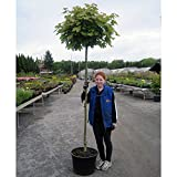 Kugelahorn Containerpflanzen Stammhöhe 220 cm