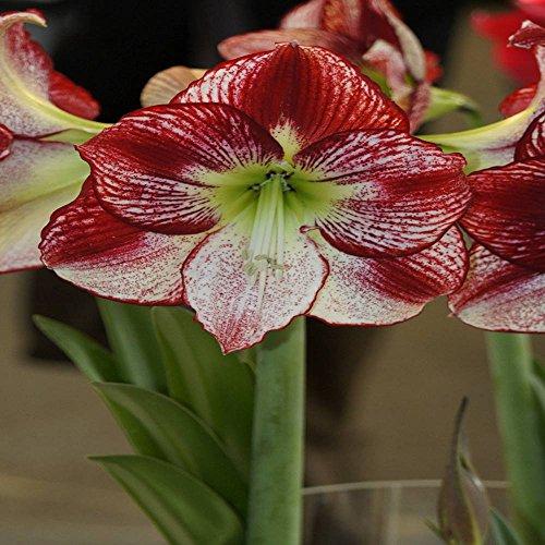 Hippeastrum Amaryllis Flamenco Queen 1 flower bulb Bicolore