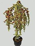Cotoneaster 'Juliette' Stämmchen ca. 80 cm hoch winterharte, immergrüne Kübelpflanze, Beetpflanze