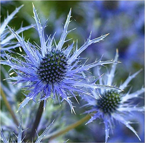 Tomasa Samenhaus- Garten-Edeldistel 'Eryngium planum', winterhart mehrjährig 70 cm Flachblatt Blumen bienenfreundliche Blumensamen 'Blaukappe' für Beet &Steingarten (50pcs)