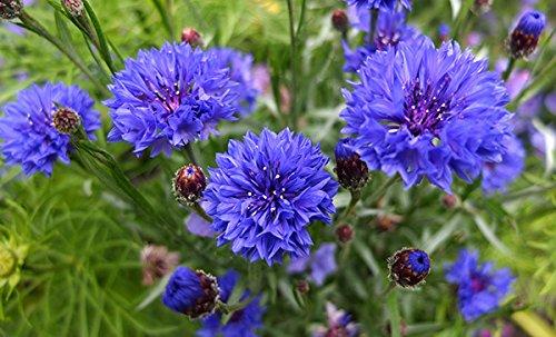 Kornblume blau 100 Samen, Centaurea cyanus