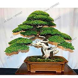 Fash Lady 50 Wacholder Bonsai Baum Topfblumen Büro Bonsai reinigen die Luft absorbieren schädliche Gase Wacholder Pflanzen pi