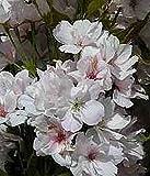 Japanische Säulen-Zierkirsche - Prunus serrulata - Amanogawa - schöne Herbstfärbung - duftende Blüten - 40-60 cm