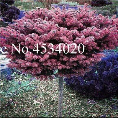 AGROBITS Saat: 50 Stück Rare Fichte Evergreen Tanne Pflanze Bonsai Topf Pine Weihnachtsbaum für Gartenpflanzen: 7