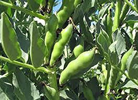 BEAN, FAVA WINDSOR BUSH, HEIRLOOM, ORGANIC 20+ SEEDS, NON-GMO, BUTTERY N HEALTY BEANS by Country Creek Acres