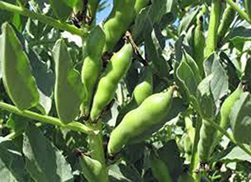 BEAN, FAVA WINDSOR BUSH, HEIRLOOM, ORGANIC 20+ SEEDS, NON-GMO, BUTTERY N HEALTY BEANS by Country Creek