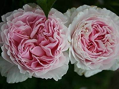 """Strauchrose """"Gartenträume ®"""" von Agel Rosen - Du und dein Garten"""