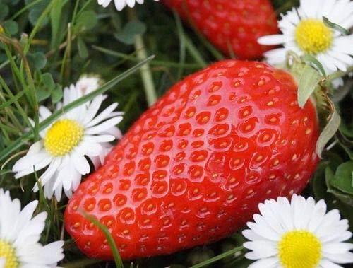 Portal Cool 100 graines de fraises Gariguette Bio de mon jardin rare !!!