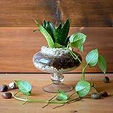 myBageecha - The Money Goblet Glass Terrarium Live Plants Air Purifier DIY Planter Home Decor Succulents