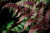 Japanischer roter Regenbogenfarn Athyrium niponicum Red Beauty Bodendecker (Topf 2,0Ltr.)