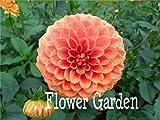 24 tipi di Dahlia Semi, tipo di lampadina fiore pachidermi dalia fiore dalia bulbi semi bonsai fiori - 100 pz semi, # 11 PV44NW