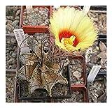 Shop Meeko Astrophytum capricorne v-Dur - Ziegen Horn Cactus - 15 Samen