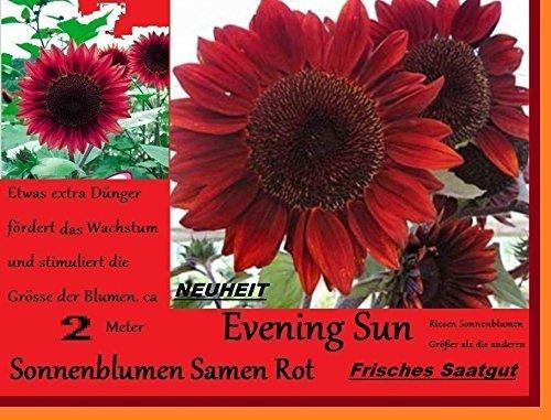 Sonnenblumen Garten (10x Rote Sonnenblumen Samen Neu Sorte größer Neu 2016 Garten Blumen Pflanze #150)