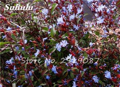 50 Pcs chaud haute neige rouge Graines de fleurs, et la cour Perennial Little Garden Bubble décoratif Sac * Le meilleur Bonsai Accueil Regarder 11