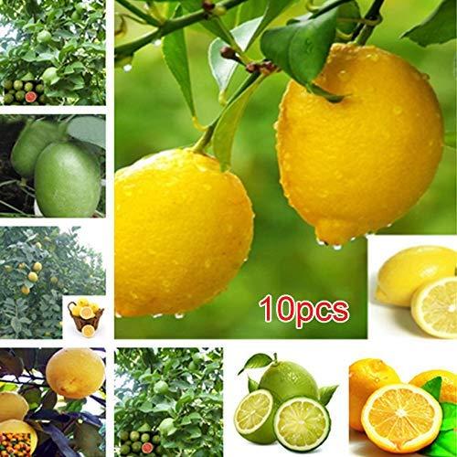 Buffyin 10 Stk. Seltene Zitrone Limette Samen Sukkulente Limon Frucht- Bonsai Staude Baum Pflanze Garten Balkon