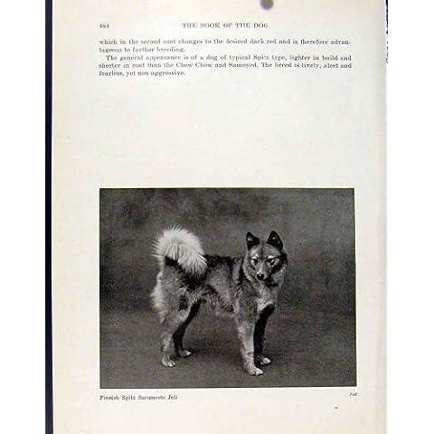 Stampa Finlandese 1940 della Foto del Segugio del Cane di Sarumcote Jeli dello Spitz