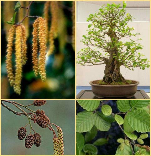 HATCHMATIC Moonflower,: Mischen oder einzelne Morning Glory Samen Tricolor purpurea heilig entheogen - Morning Glory Ipomoea Purpurea
