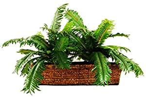 "LCG Florals Sago Palm in a Ledge Basket, 18"""