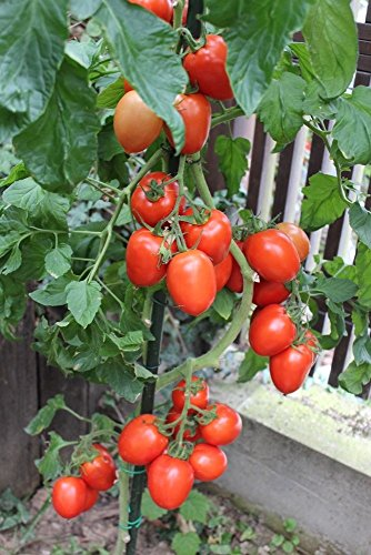 10 Samen Rio Grande Tomate – Pilz- und Fäulnisresistent, sehr ertragreich