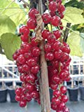Johannisbeere Säule Rovada sauer-aromatisch 100+ cm rotes Beerenobst Gartenpflanze 1 Pflanze