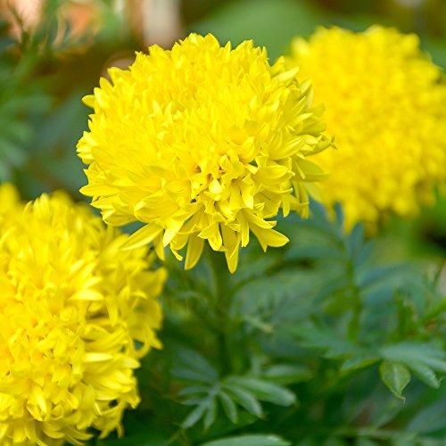 Ringelblume Fantastische Samen - Aufrechte Studentenblume