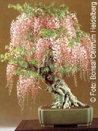 tropica-bonsai-lluvia-azul-wisteria-sinensis-4-semillas
