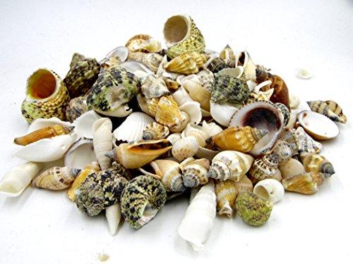 | Deko Muscheln und Schnecken | die maritime Dekoration für Vasen, Schalen oder als Streudeko | tropiesche echte Meeres-Muscheln aus der ganzen Welt | für Bad ode Heim | für alle Meeres und Insel-Fans - das Original nur von osters muschel-sammler-shop (Groß Meer Muscheln)