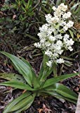 Portal Cool Milligania Densiflora - Milligan Lily 15 graines
