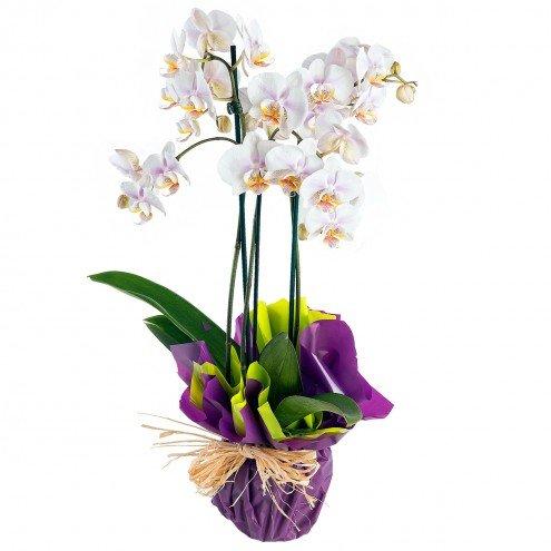 orquidea-phaleonopsis-blanca-natural-premium