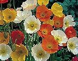 Graines de fleurs pavot d'Islande Viktori sm?s - Victory Mix (Papaver nudicaule)