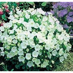 Karpaten-Glockenblume Weiße 200 Samen , Campanula Carpatica White